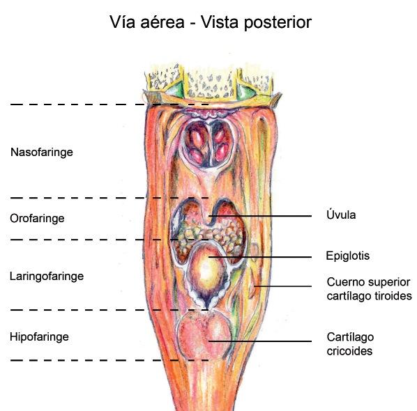 Anatomía De La Vía Aérea Revista Chilena De Anestesia